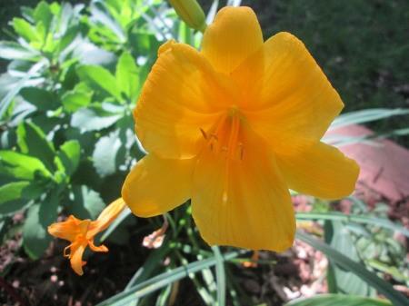I Love Lilies