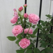 Sweetheart Roses - pink roses against a trellis