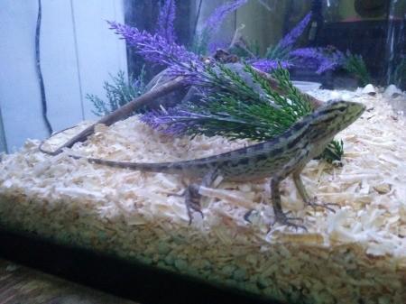 Identifying Indonesian Lizards - green lizard with dark markings