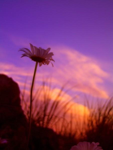 Daisy at Dusk - roadside daisy at dusk