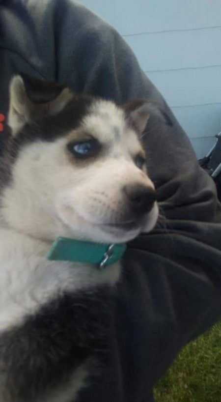 What Type of Husky Do I Have?