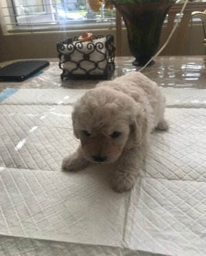 Caring for an Orphan 4 Week Old Puppy -  fuzzy white puppy