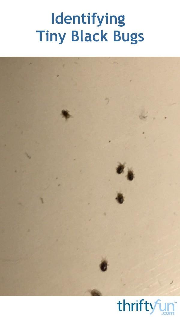 Identifying Tiny Black Bugs Thriftyfun