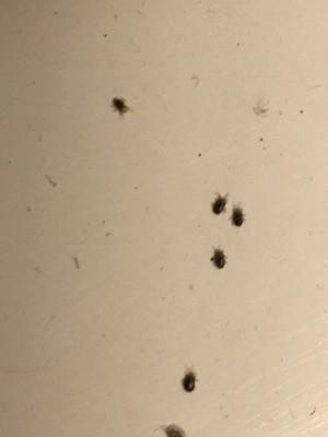 Identifying Tiny Black Bugs - tiny black bugs
