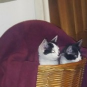 Using the ASPCA Vaccination and Spay Service in New York - black and white kitties in a basket