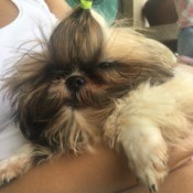 Shih Tzu Puppy Not Eating - someone holding a puppy
