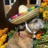 Bindi (Chihuahua) - dog wearing a mini sombrero with marigolds in the background