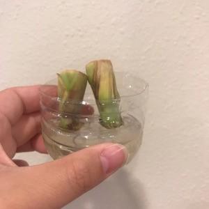 Propagating Lemongrass in a Plastic Bottle
