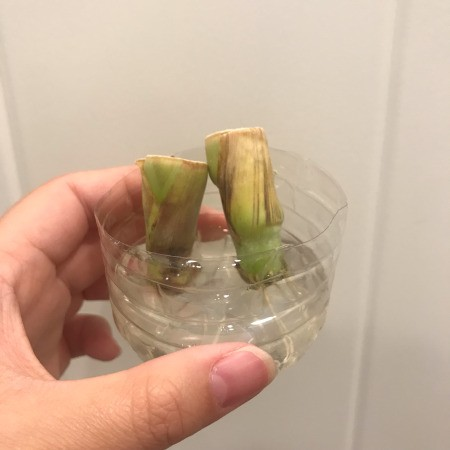 Propagating Lemongrass in a Plastic Bottle - roots developing