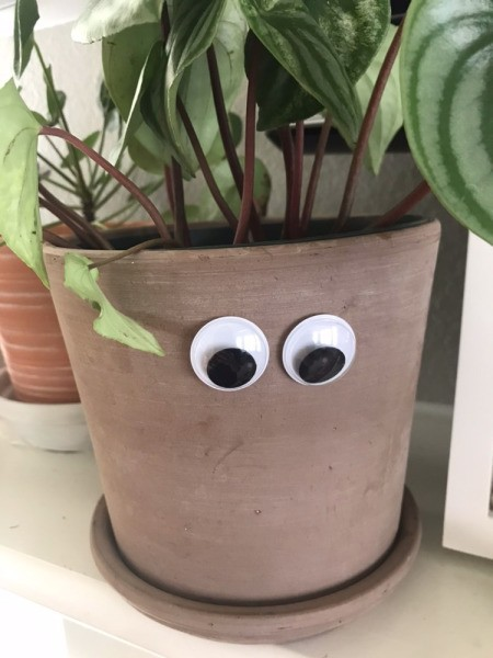 Two large googly eyes adhered to the side of a potted houseplant.