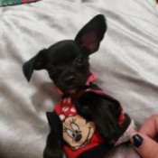 What Breed Is My Dog? - black puppy in Minnie Mouse shirt