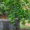 A potted citrus plant with lots of fruit.