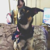 What Breed Is My German Shepherd Mixed With? - Shepherd mix puppy