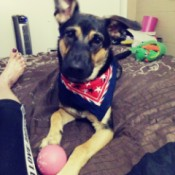 Rosey (German Shepherd Mix) - Rosey with a scarf around her neck and a ball at her feet