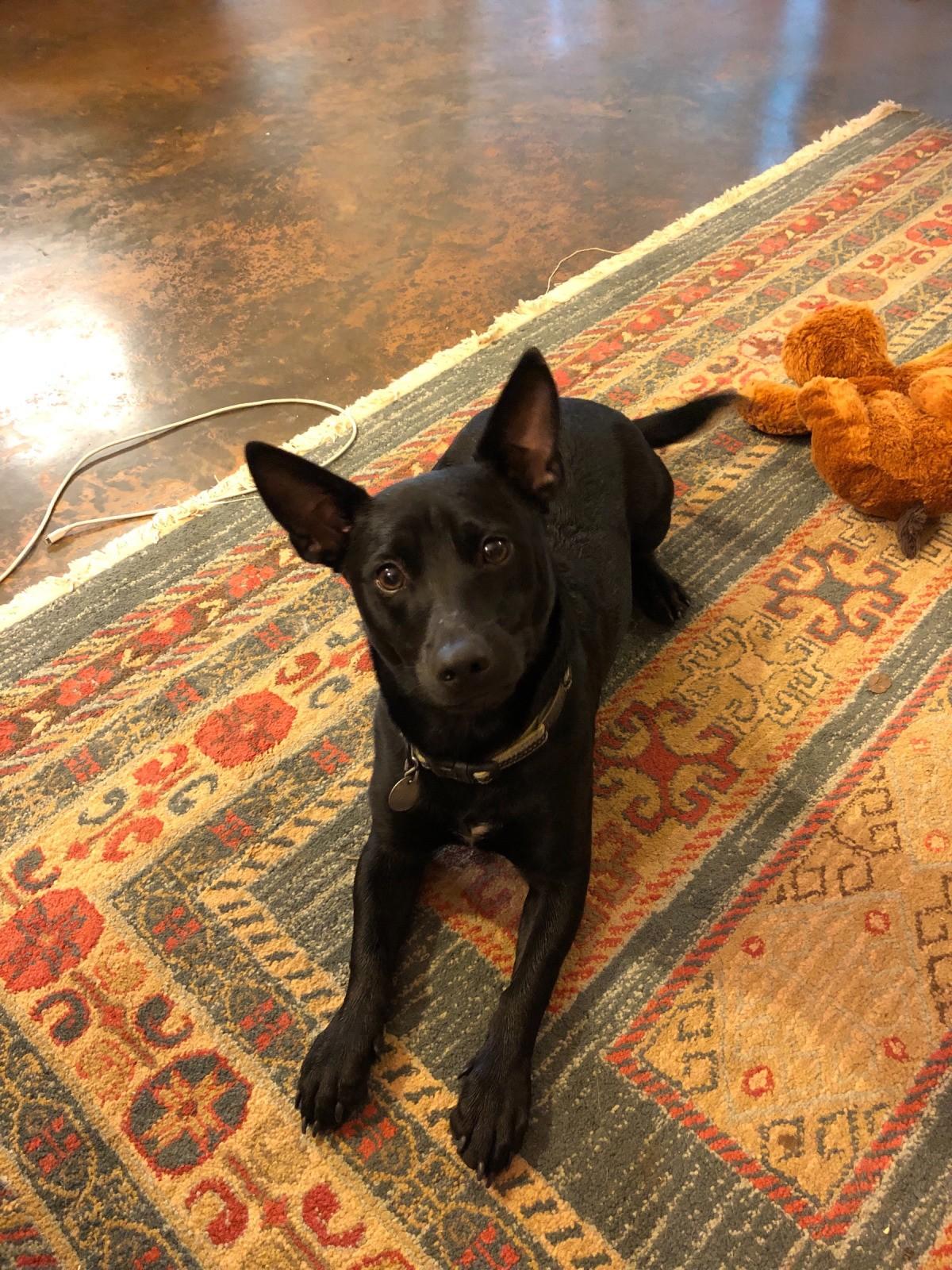 Daisy Rat Terrier And Schipperke Mix Thriftyfun