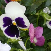 Pansies After the Rain - raindrops on colorful pansies