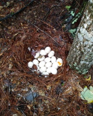 Female Duck Doesn't Stay on Her Eggs