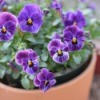 A pot of purple pansies growing outside.