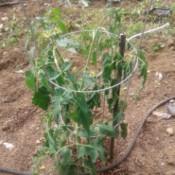 Tomato Plants Wilting  - wilting tomato plant in a cone