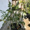 Bamboo sticks holding up a tomato plant.