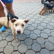 What Breed Is My Dog? - tan dog on a leash