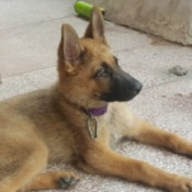 Is My Puppy a Pure Sable German Shepherd? - puppy lying down on patio