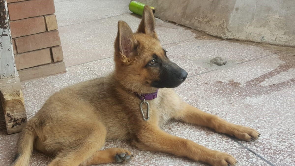 My Puppy A Pure Sable German Shepherd