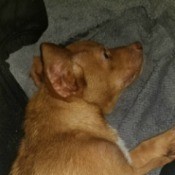 Caring for a Puppy with Parvo - puppy lying down