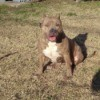 Nevada (Pit Bull) - wide chested brown Pit
