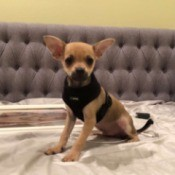 What Is My Chihuahua Mixed With? - dog on the bed