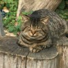 Checkers (Domestic Shorthair) - striped kitty sleeping on a tree stump