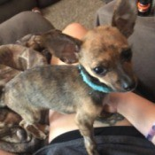 Recovery Time for a Puppy with Parvo - Chihuahua puppy