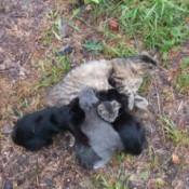 Two Month Old Kittens Nursing Again - kittens nursing