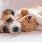 Reuse Stuffed Animals As Dog Toys - terrier with a stuffed bear