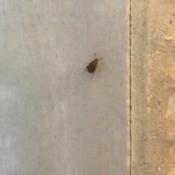 Identifying Small Black/Brown Beetles - horizontally striped beetle