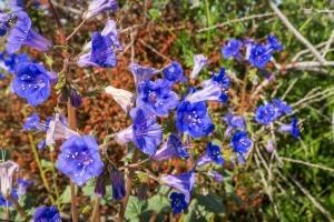 Growing California Blue Bells - wild flowers at Joshua Tree