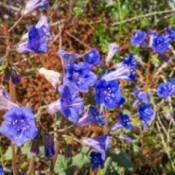 Growing California Blue Bells - wild flowers at Joshua Tree