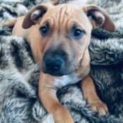 What Breed Is My Dog? - brown puppy on grey fleece