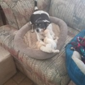 Sadie (Chihuahua Rat Terrier Mix) - black and white dog in dog bed with stuffy