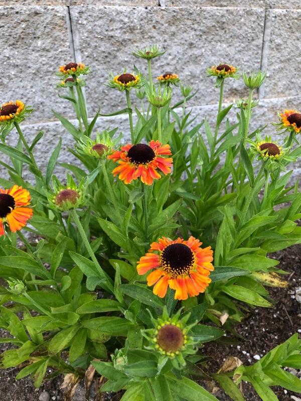 My June Garden - helenium,