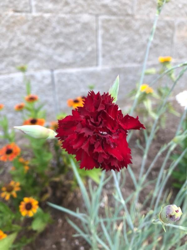 My June Garden  - carnation