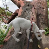 Is My Dog a Pit Bull? - white dog on a fallen tree