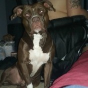 Pit Bull Breed Information - very dark brown or black and white dog
