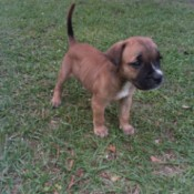Is My Puppy a Pit Bull?  - brown puppy with black muzzle and white on nose and  chest