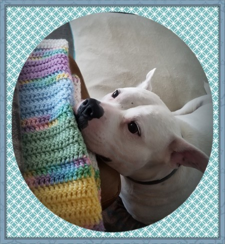 Hardy (Basset Hound/American Bulldog) - white dog with chin resting on a crochet afghan