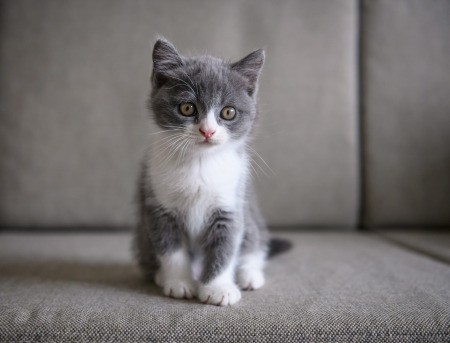 Cute grey and white kitten sitting on a couch.