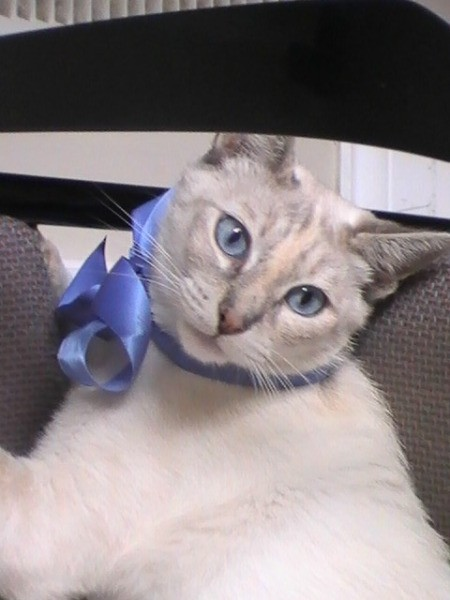 Sapphire (Mixed Breed) - beautiful white cream and gray cat with blue eyes