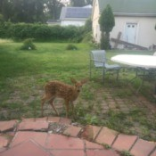 What to Do About an Abandoned Fawn - fawn in back yard
