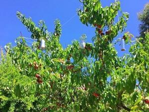 DIY Foil Garden Pest Deterrents - deterrents in a fruit tree