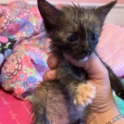 What Breed Is My Kitten? - very young kitten with tortie coat